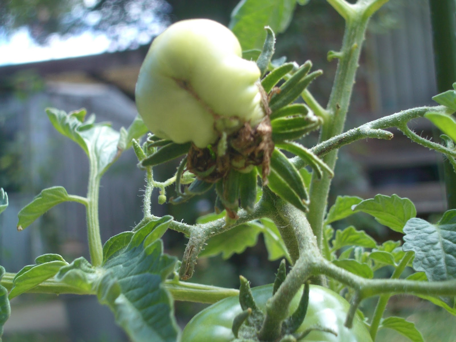 VK3UKF: 2nd deformed tomato flower grows fruit. Tomato Plant Flower To Fruit