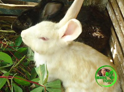 Foto : Detik - detik kelinci akan melahirkan di kandang