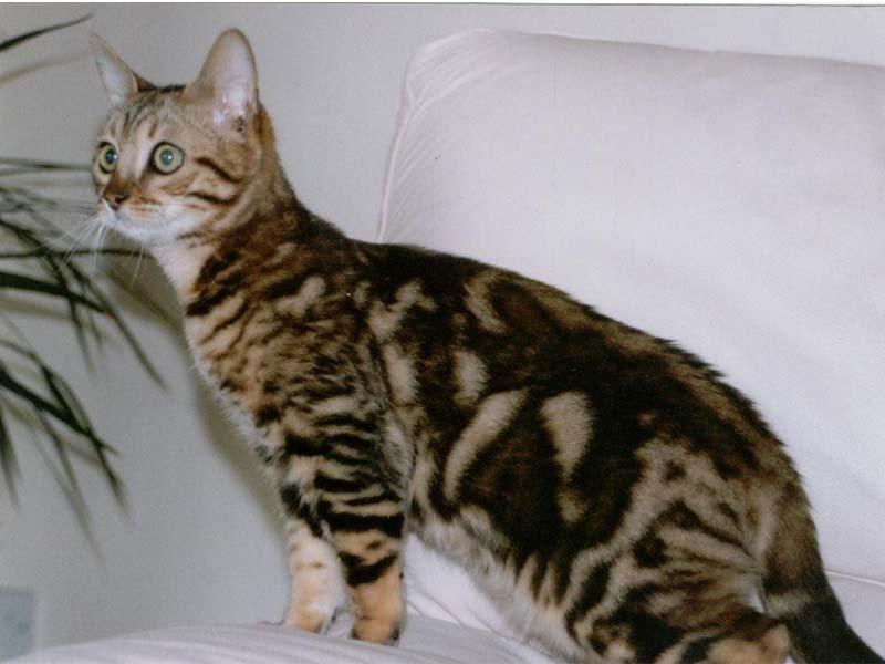 Gambar Kucing Bengal godean.web.id