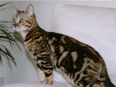 foto kucing bengal 09