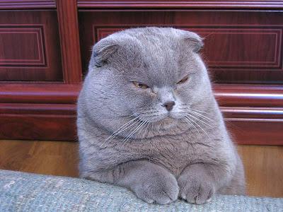 Foto Kucing Scottish Fold
