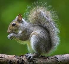 squirrel in the choir
