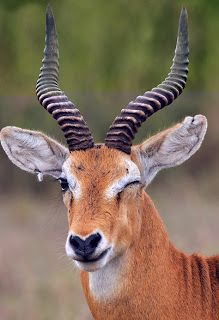 gambar Uganda Kob, kijang, rusa yang homo-Binatang-Binatang dan hewan Yang Homo di dunia - munsypedia | un1x project