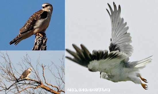 6 Jenis Burung Alap – Alap Penangkap Tikus (Falcon)