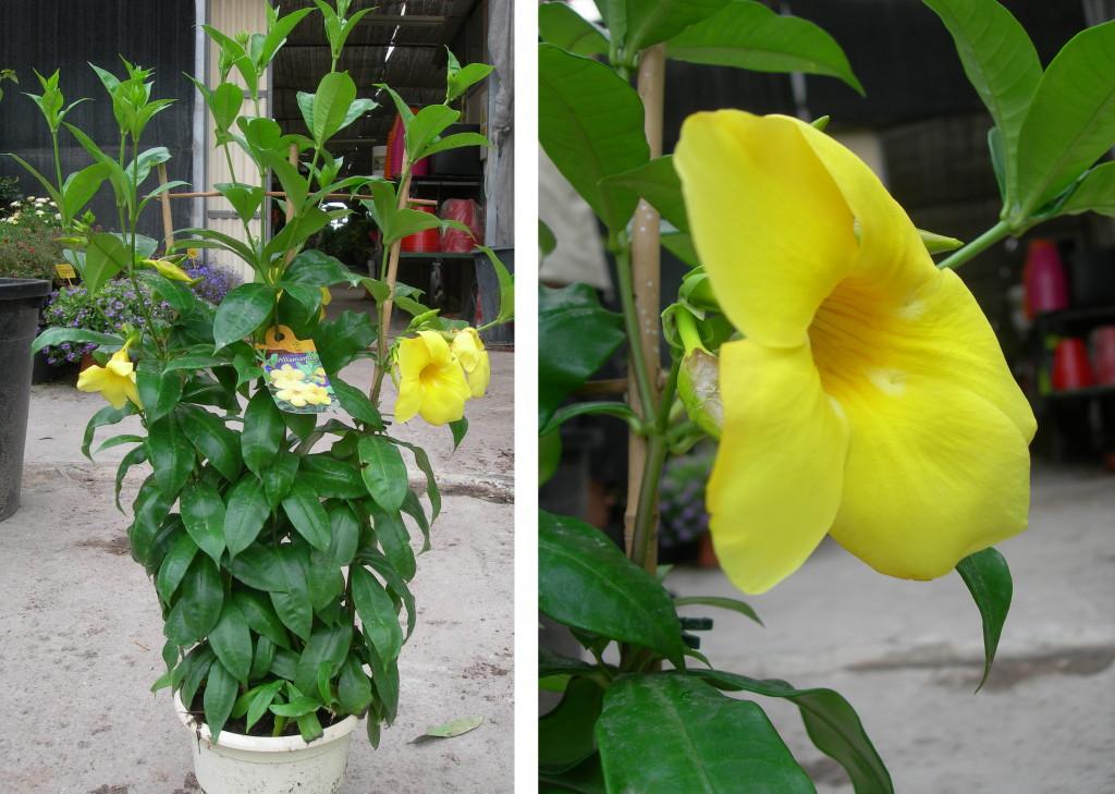 Viveros vangarden jazmines de cuba y de chile for Vivero plantas tropicales