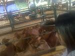 Survey Ternak ke Peternakan Sapi Potong tgl 2 April 2013