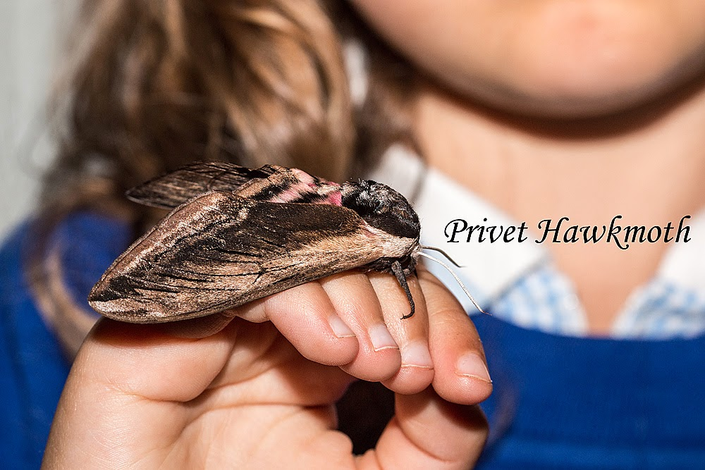 A Privet Hawkmoth on Bo's hand