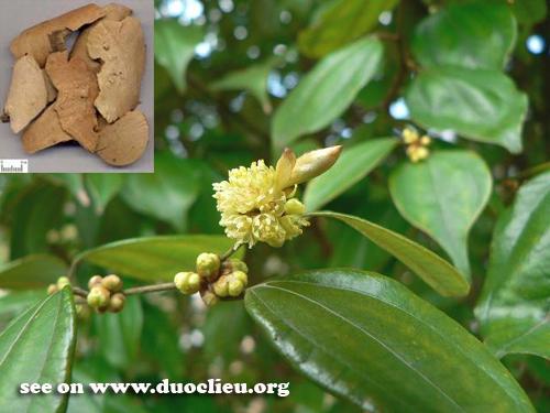 Lindera strychnifolia (Sieb. et Zucc.) Vill. (Fam. Lauraceae)