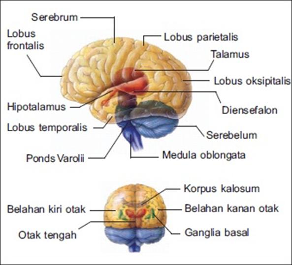 anatomi dan fisiologi kortikosteroid