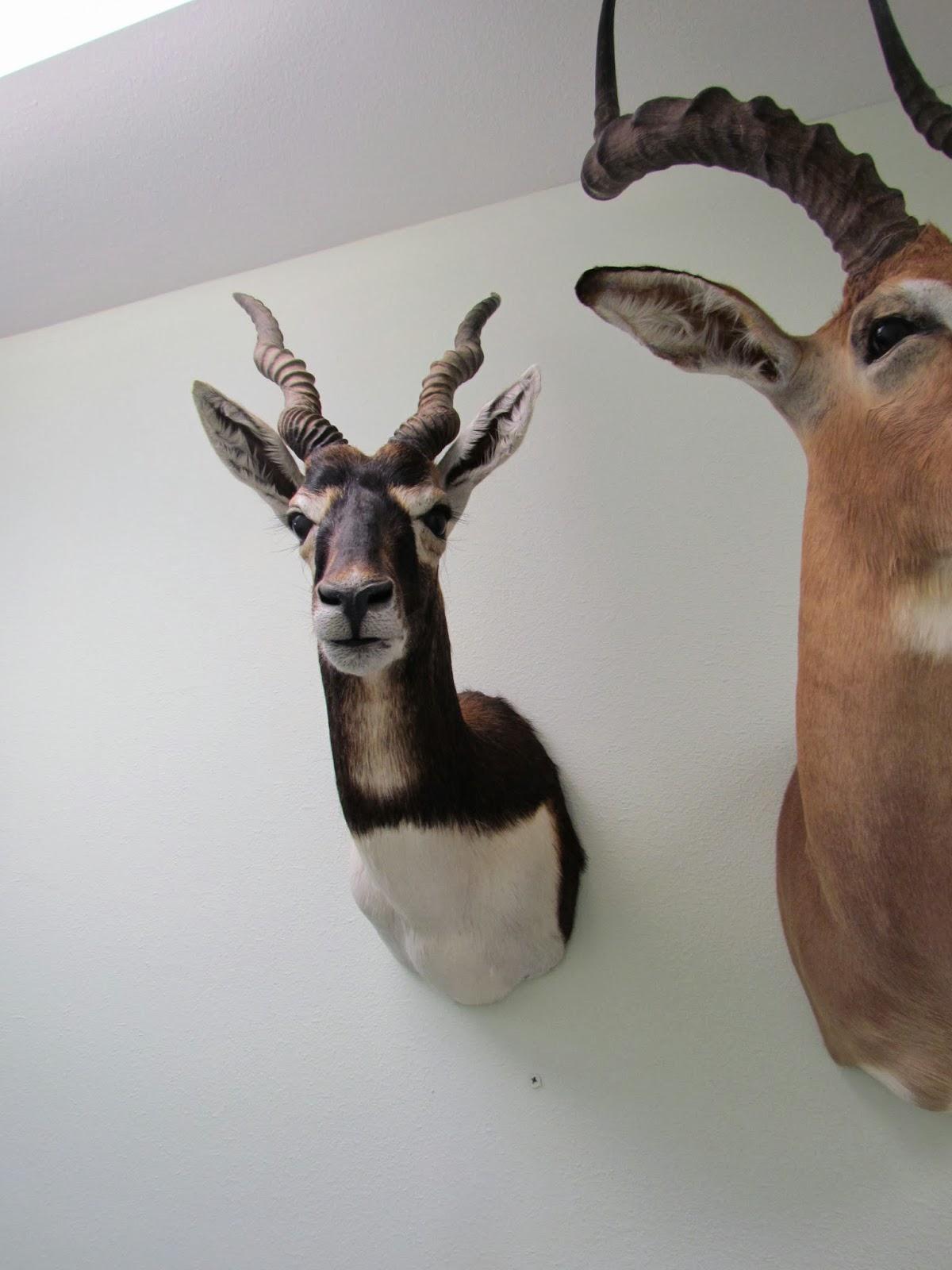 Blackbuck antelope mount - photo#8