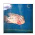 Jenis dan Cara Perawatan Ikan Louhan
