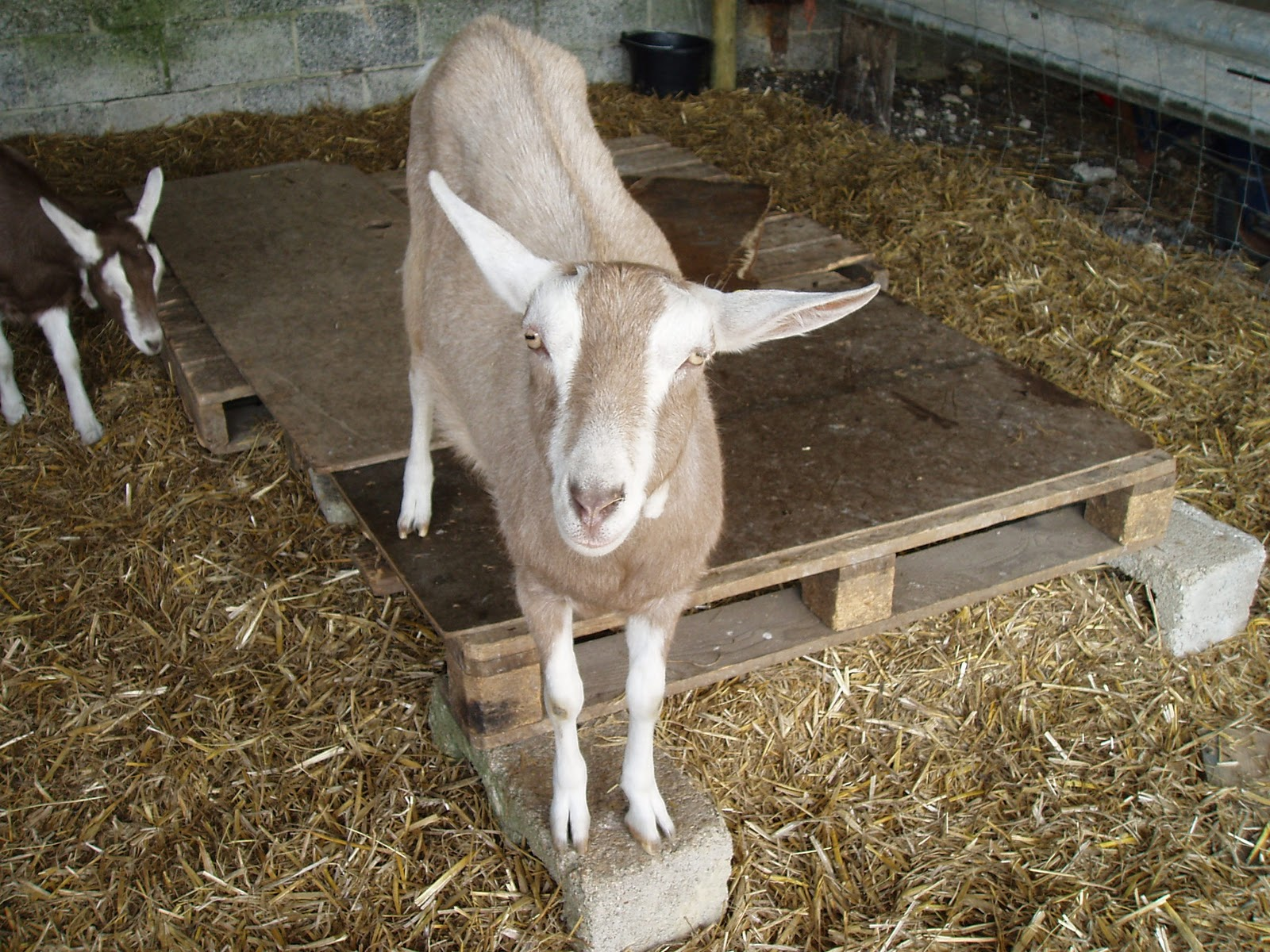 Ellie's Dairy - The Finest Goat Milk, from Kent