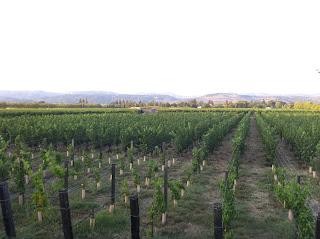 Napa California Wine Grapes