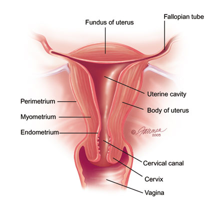 At this point it helps to know a little about the uterus: uterus's ...