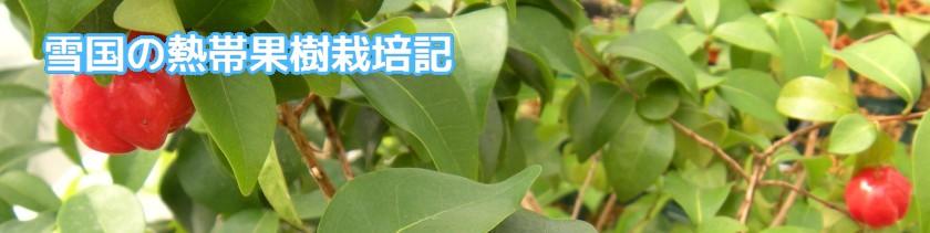 雪国の熱帯果樹栽培記