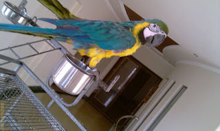 Blue and Gold Macaw Parrot For Sale in Lahore