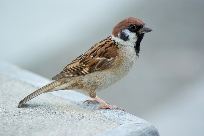 Alamat Maya Legend The Tree Sparrow