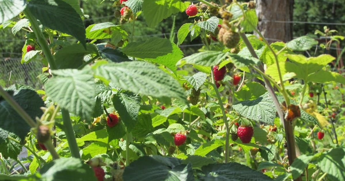 Poverty Prepping: The Perennial Prepper Garden