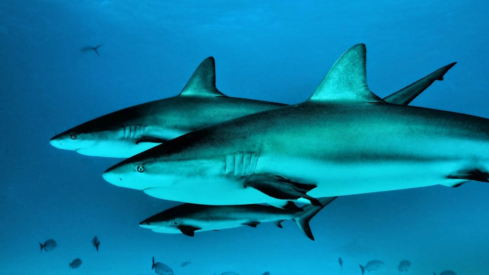 Reef Shark Trio