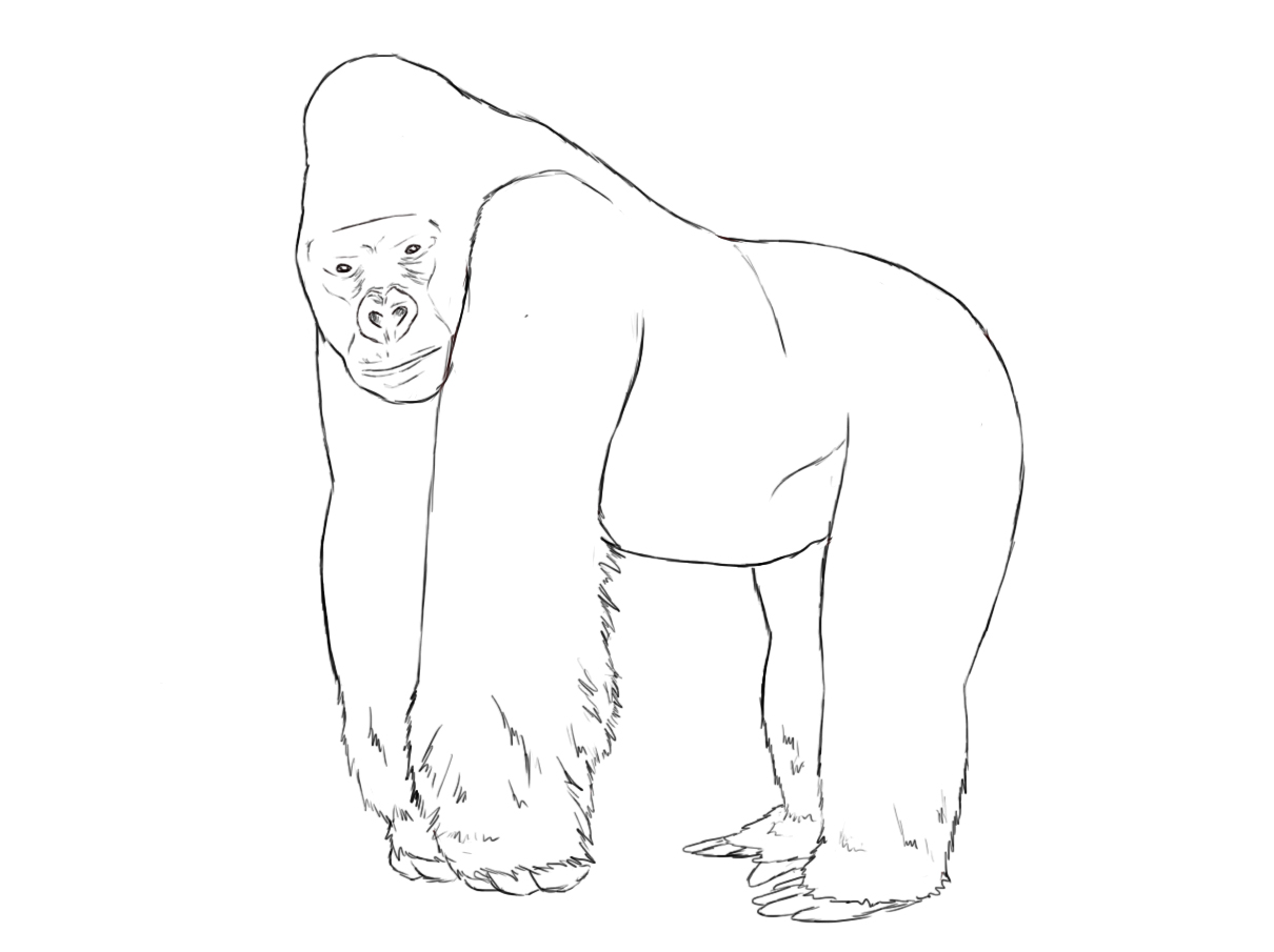 Mountain Gorilla (Gorilla beringei beringei) Line Art Illustration