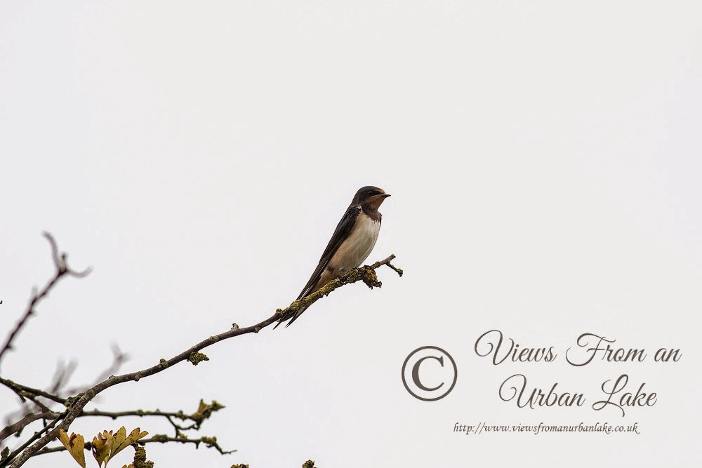 Swallow - Manor Farm, Milton Keynes