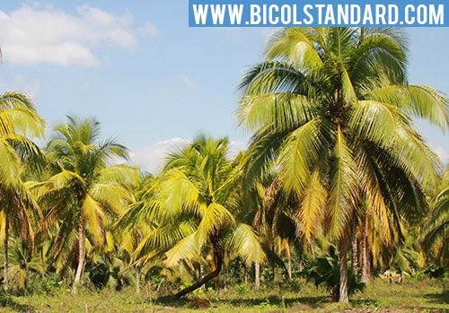 Coconut trees in Camarines Sur