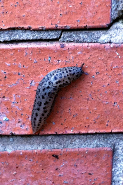 slug snail without shell