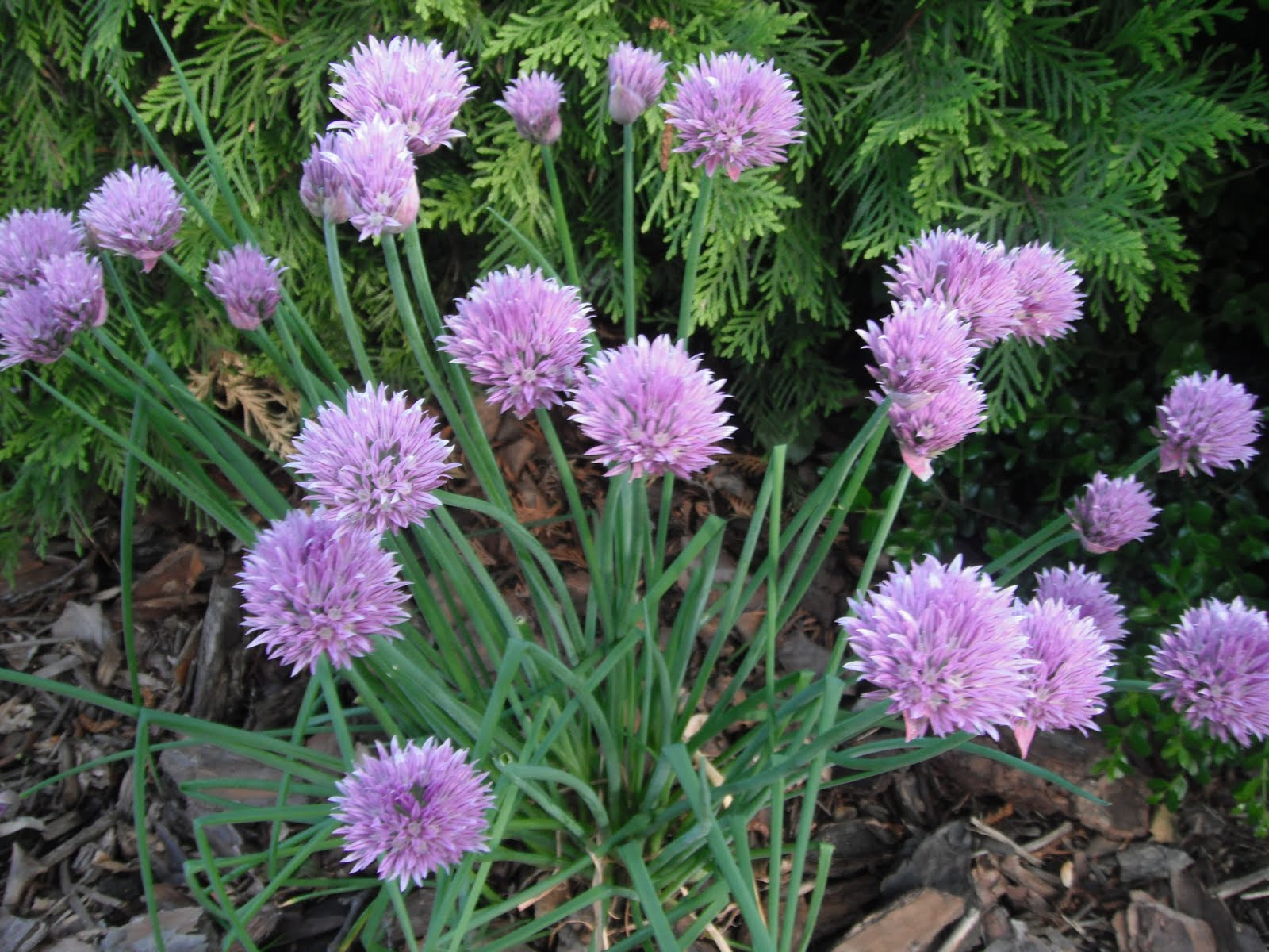 Yes You Can Eat The Flowers Of Chives Each Little Pink Purple Flower Has A Distinct Garlic Onion Flavor That Is Not Matched By Anything I Have Ever