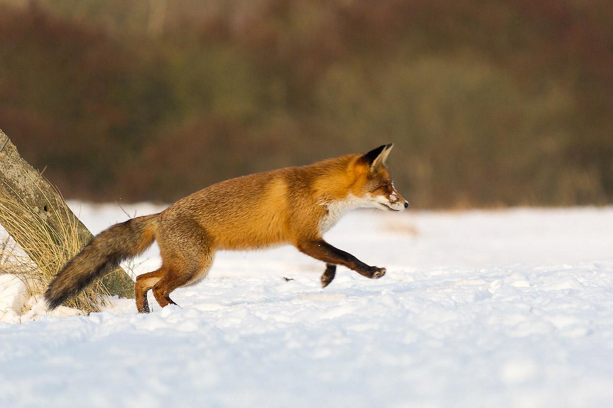 Vos springt in de sneeuw (AWD, 2013)