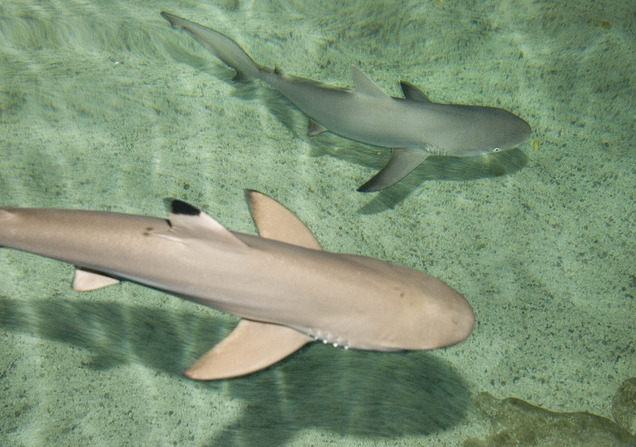 Behind the glass introducing baby sharks for Baby sharks for fish tanks