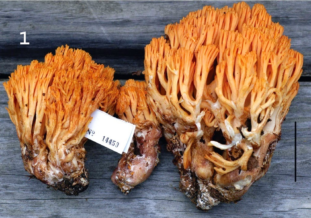 http://sciencythoughts.blogspot.co.uk/2014/11/two-new-species-of-coral-fungi-from.html