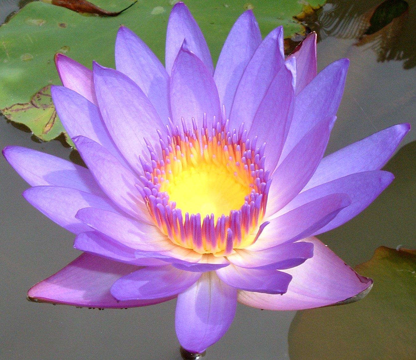 Lotus St Hallvardmenighet