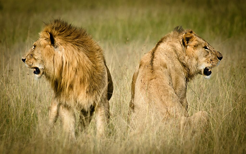 Elsen Karstad s  Pic-A-Day Kenya   Mara Lions- Kenya