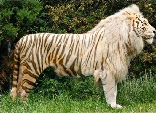 Are Tiger and Lion mating rituals similar? ========= | The Journal ...