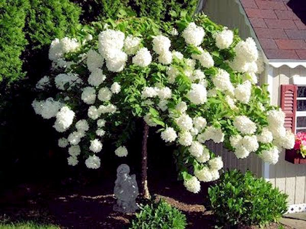 peegee hydrangea tree form - When To Trim Hydrangea