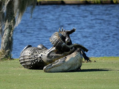 Two 10 feet alligators are seen wrestling at a golf course