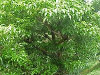 クスノキ科でニッケイ(ニッキ)の樹皮は生薬である