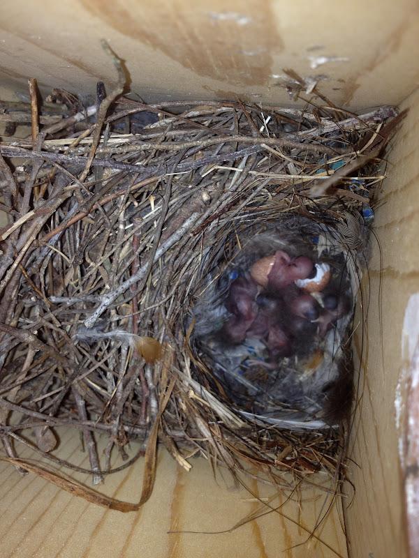 Quaker Parrot building his nest