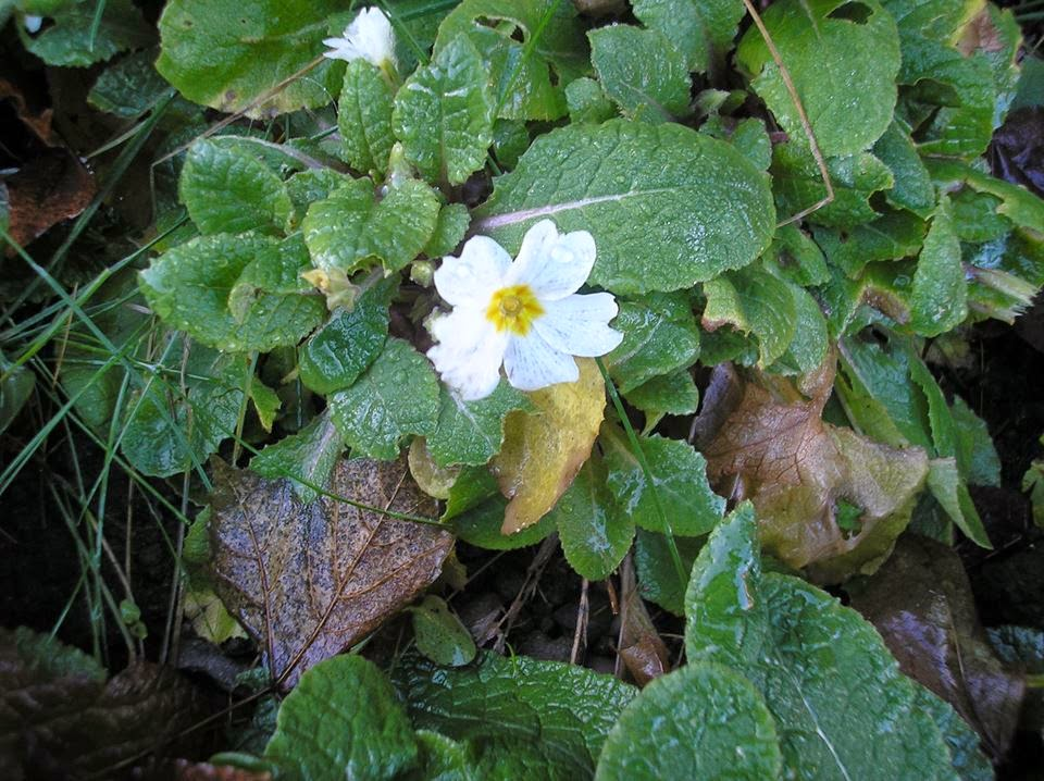 Uses for primrose vulgaris #saveourskills #foraging
