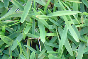 Gramas e forra es 39 tipos de grama - Semillas de gramon ...