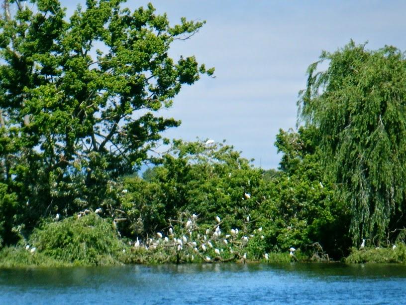 Colónia de garsas na Ilha no meio do Tejo em Escaroupim