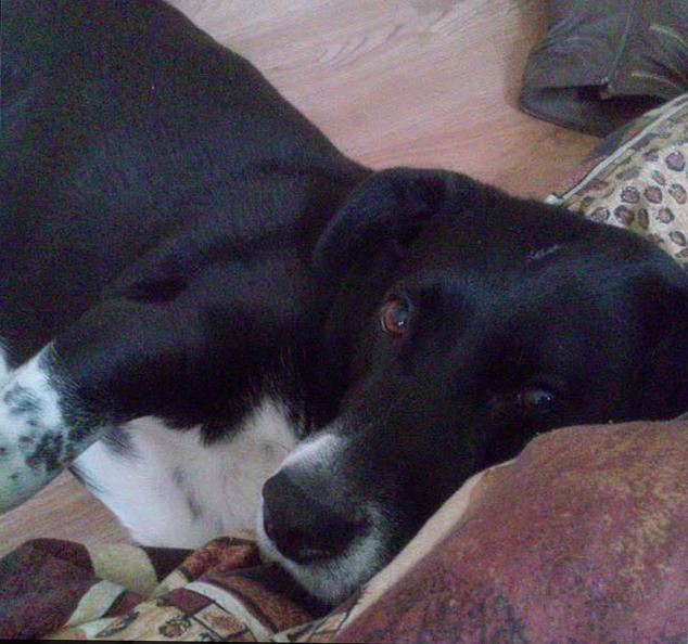 Pit Bulls Attack, Kill Pet Beagle in Bloomfield - NBC ...