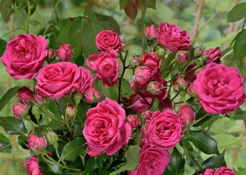Super Excelsa rose cjhn hjps ajnj