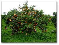 manfaat buah lengkeng atau kelengkeng