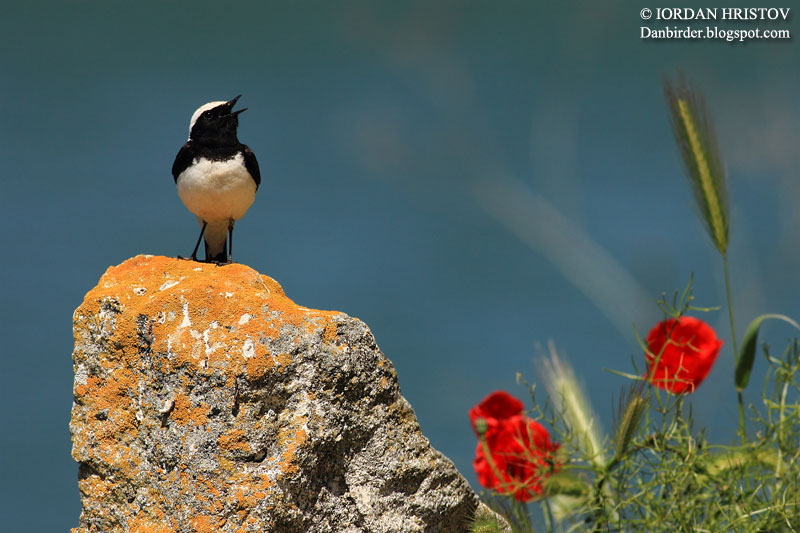 Pied Wheatear photography