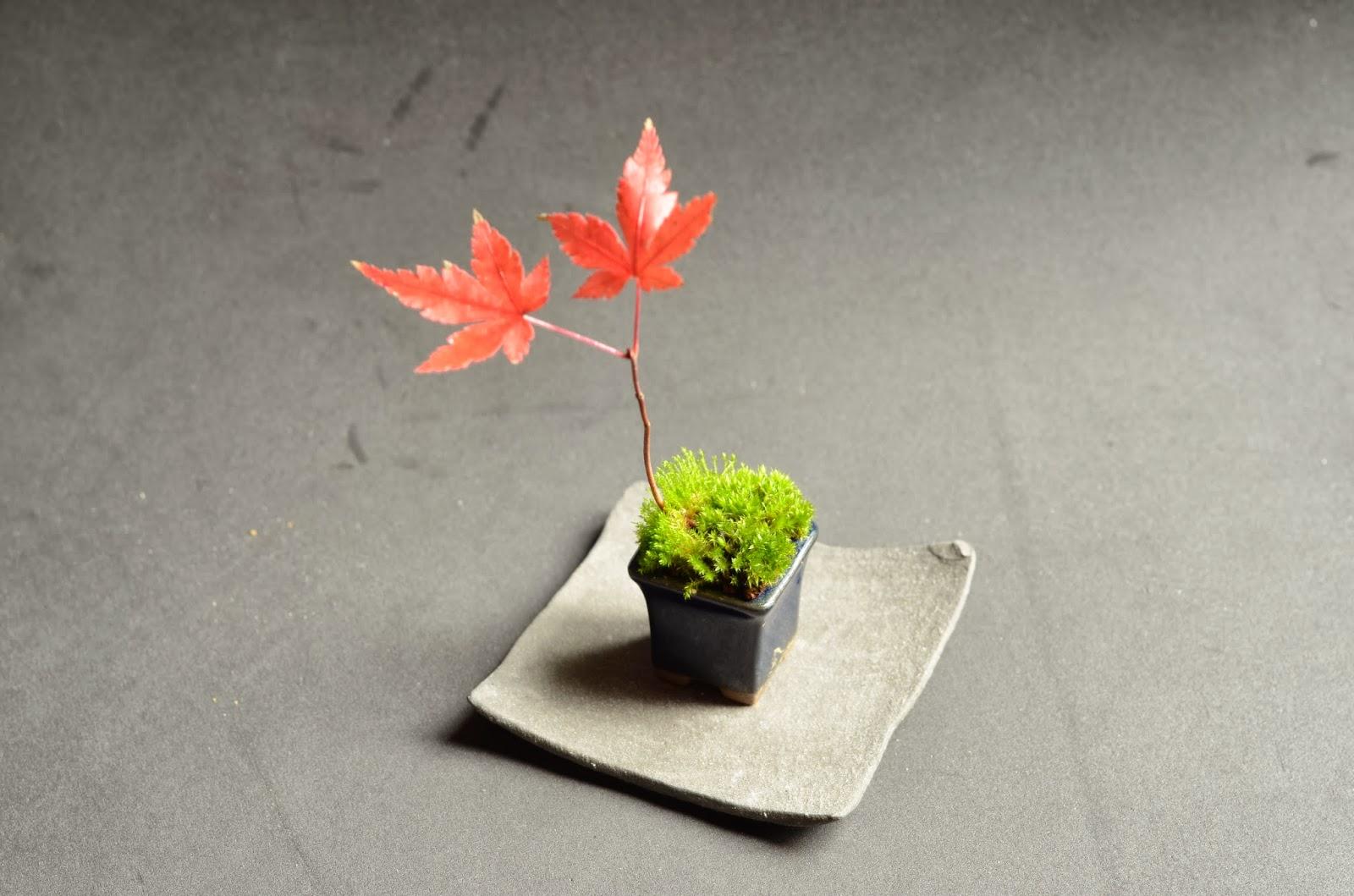 kokedama et petit bonsai le petit rouge erable. Black Bedroom Furniture Sets. Home Design Ideas