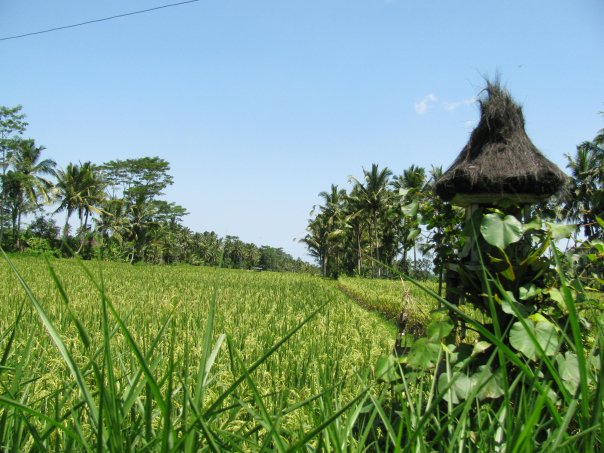 Rice fields in Tirta Gangga Bali
