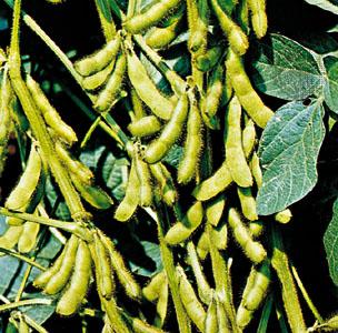 Soybean_plant