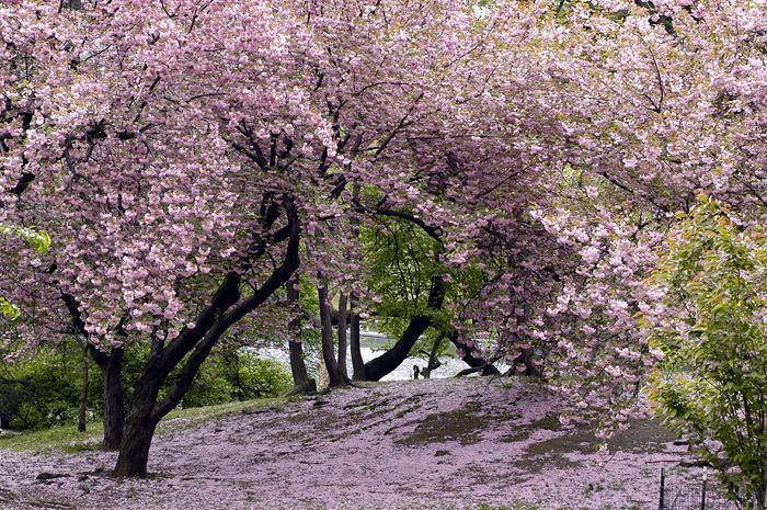 Le japon les cerisier du japon en fleur - Greffe du cerisier au printemps ...