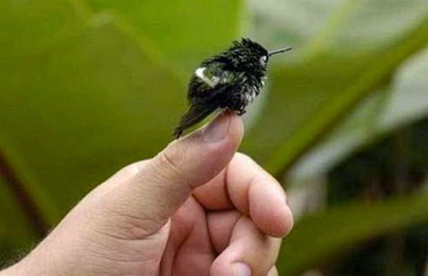 burung kolibri lebah